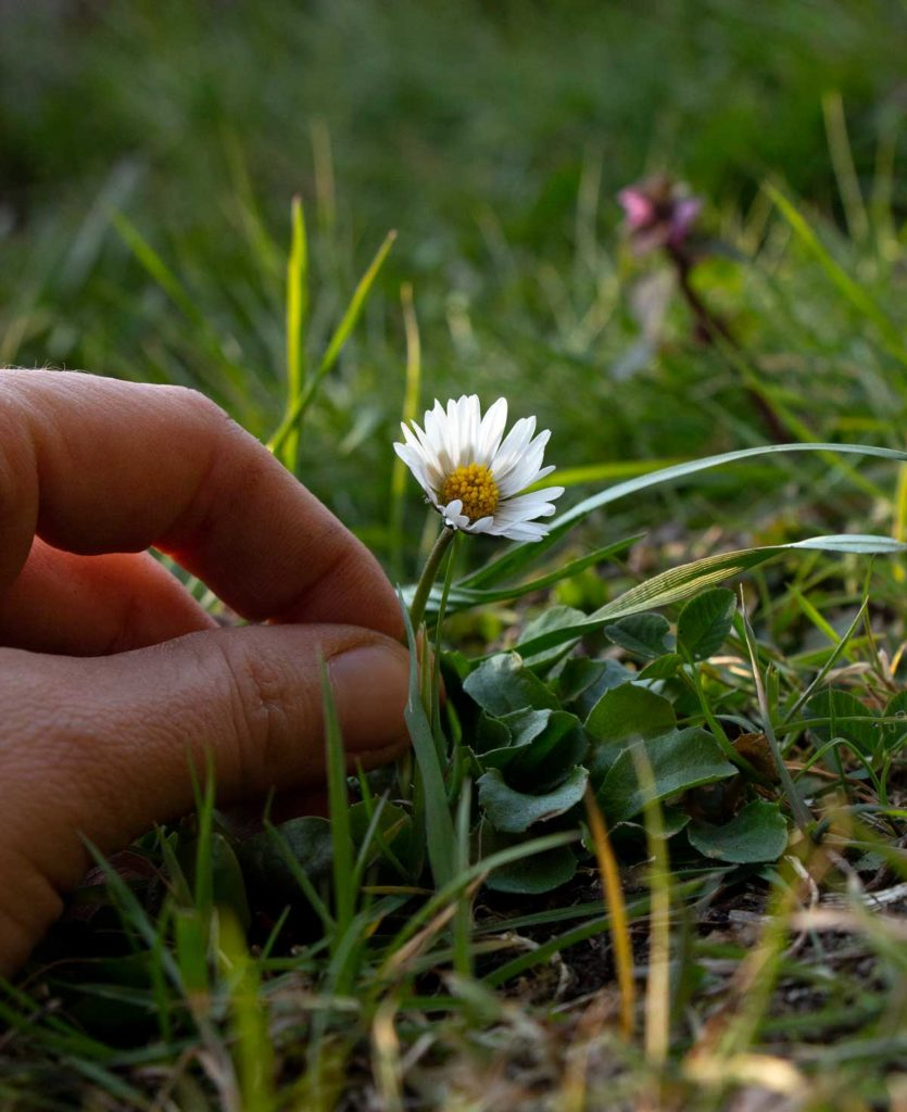 Gänseblümchen – Inhaltsstoffe – digitales Herbarium – Herbal Hunter