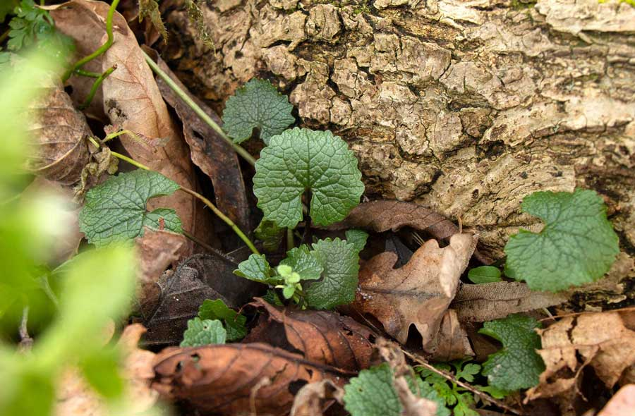 Knoblauchsrauke Kreuzblütler digitales Herbarium Herbal Hunter
