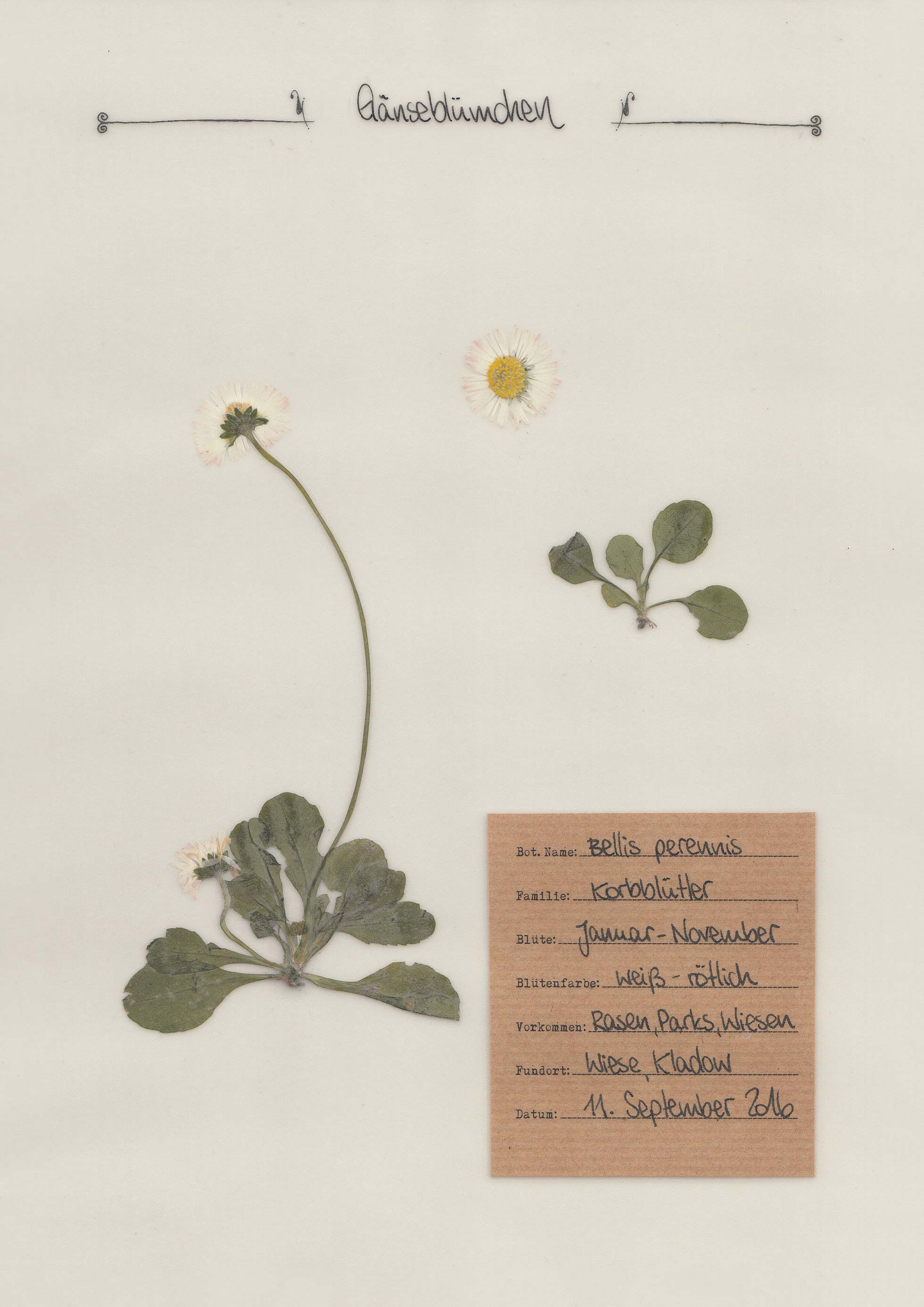 Herbal Hunter – Herbarium – Gänseblümchen