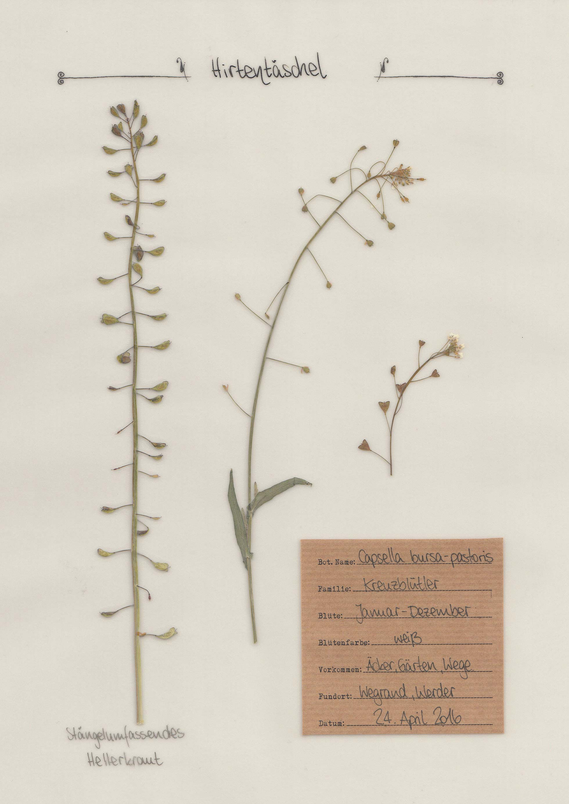 Herbal Hunter – Herbarium – Hirtentäschel