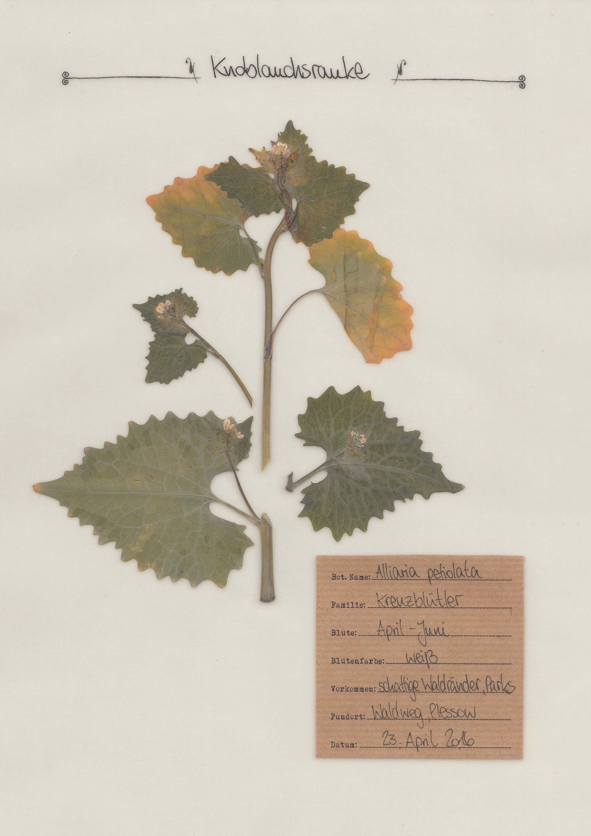 die knoblauchsrauke ein pflanzenportrait im herbal hunter herbarium. Black Bedroom Furniture Sets. Home Design Ideas