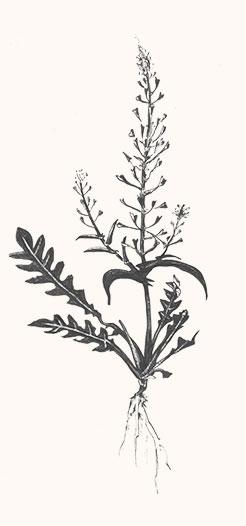 Erkennungsmerkmale des Hirtentäschel – Digitales Herbarium – Herbal Hunter