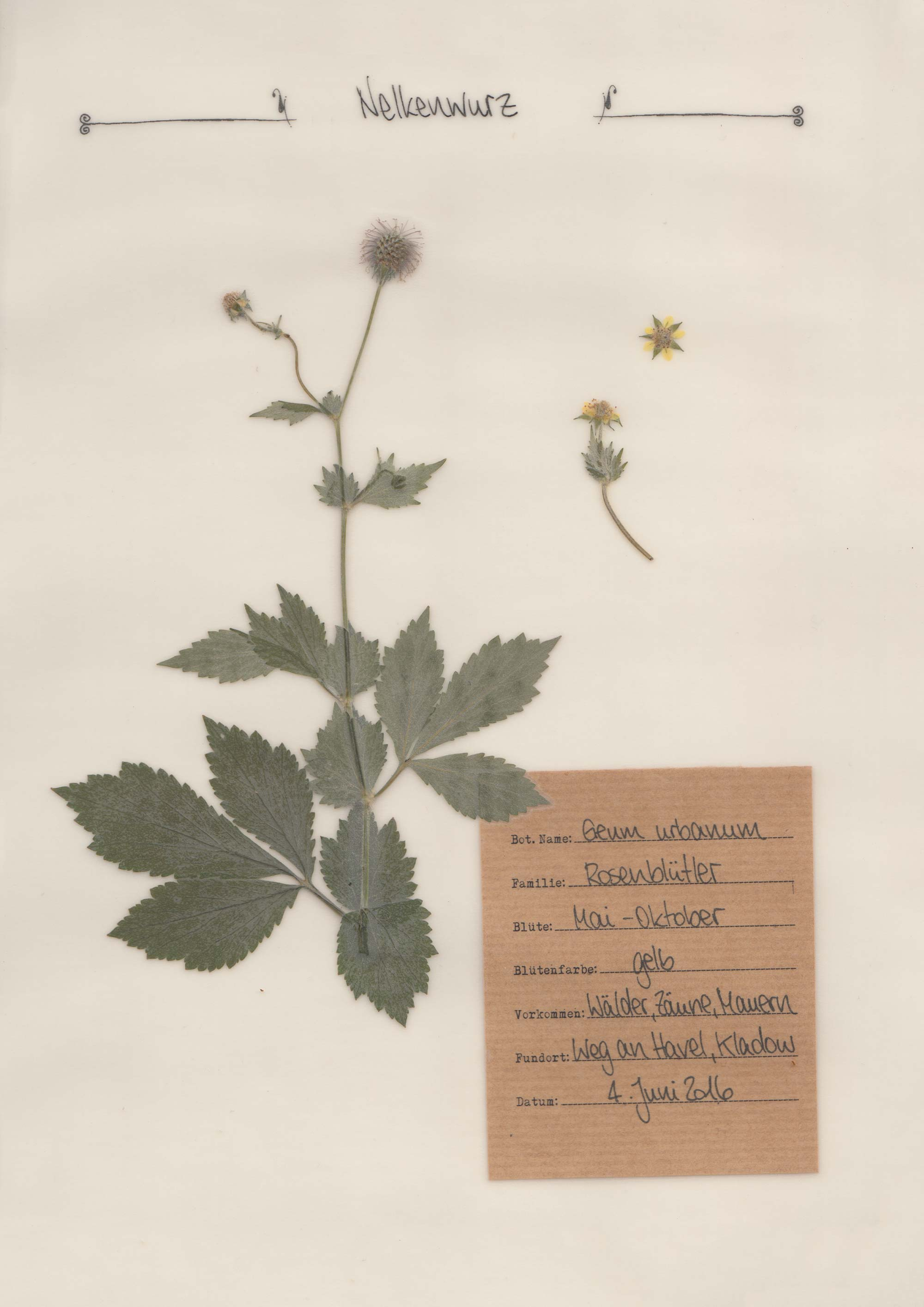 Die Echte Nelkenwurz – Herbal Hunter Herbarium
