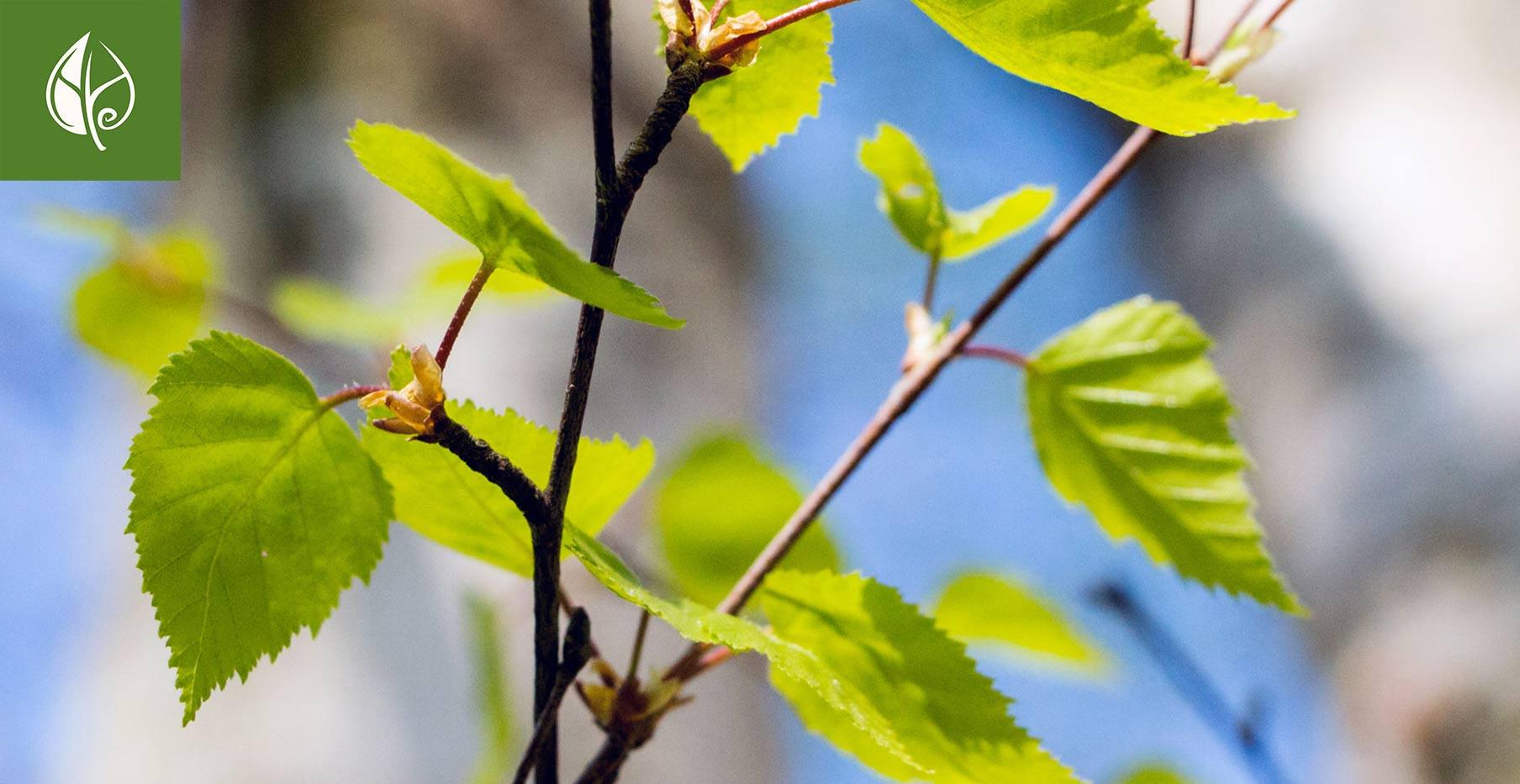 Herbal Hunter kräuterwanderungen in Potsdam 2019 - Ich ess Bäume