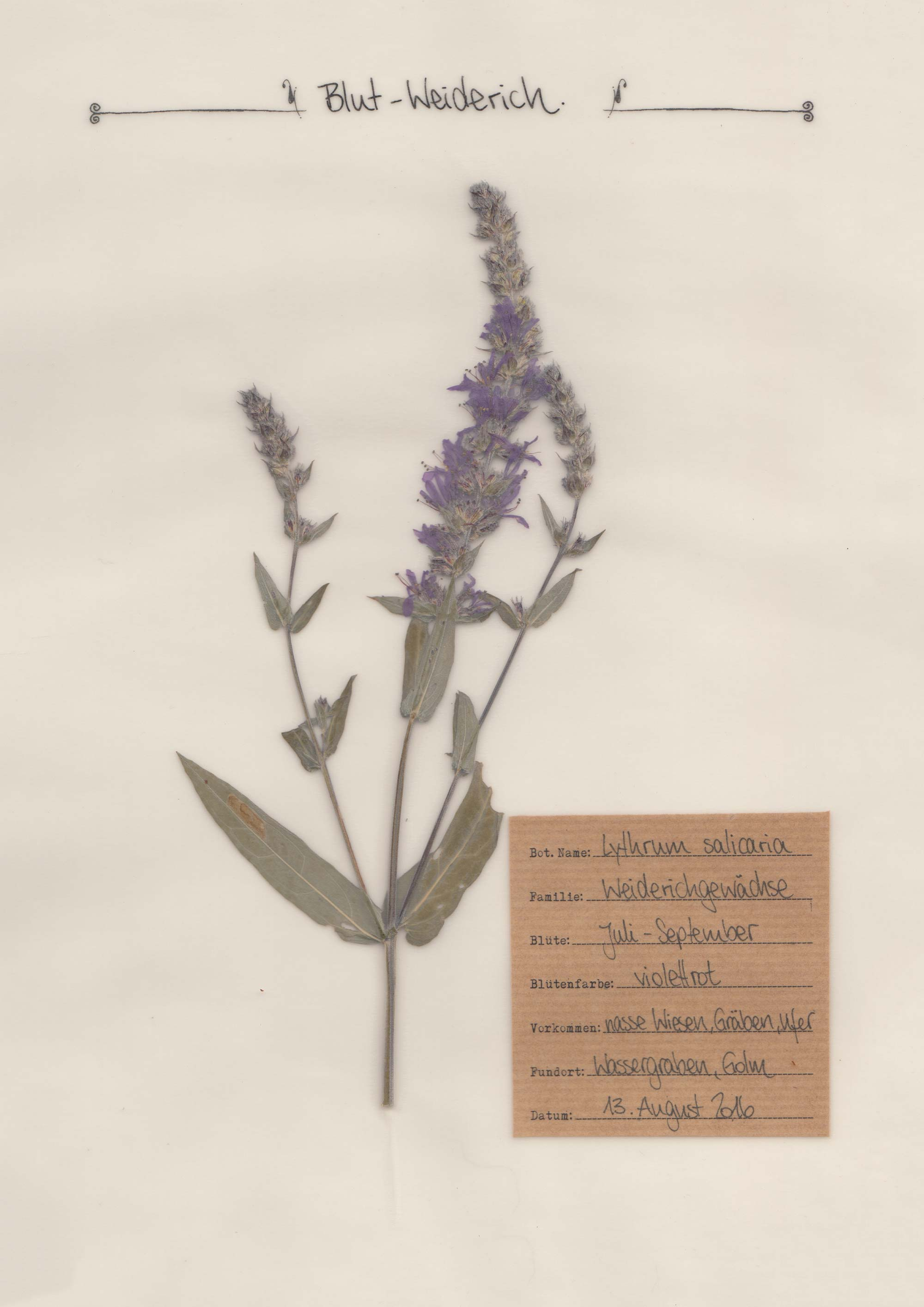Blut-Weiderich – Herbal Hunter Herbarium