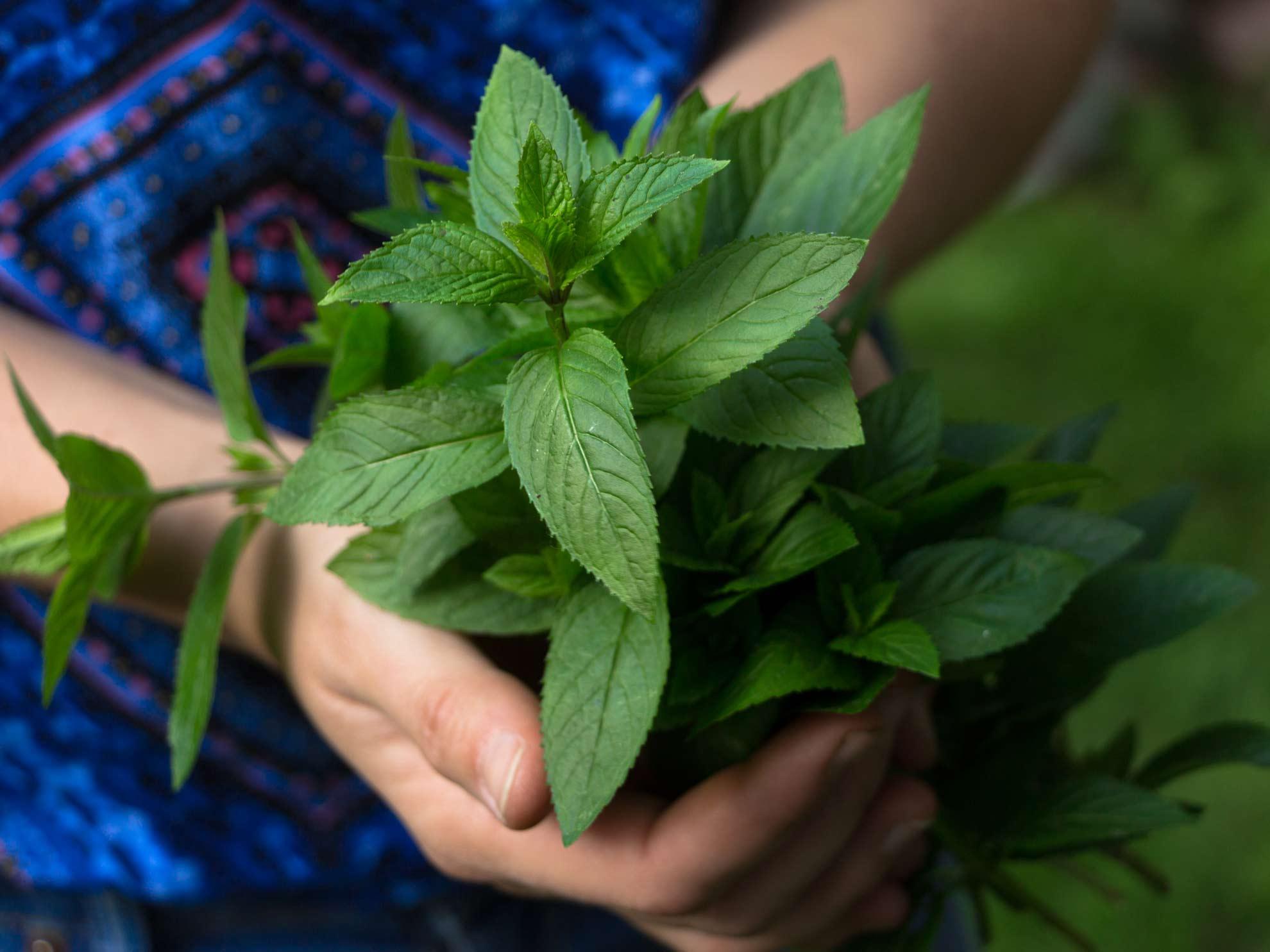 Herbal Hunter Rezept – Pfefferminzlikör selber machen