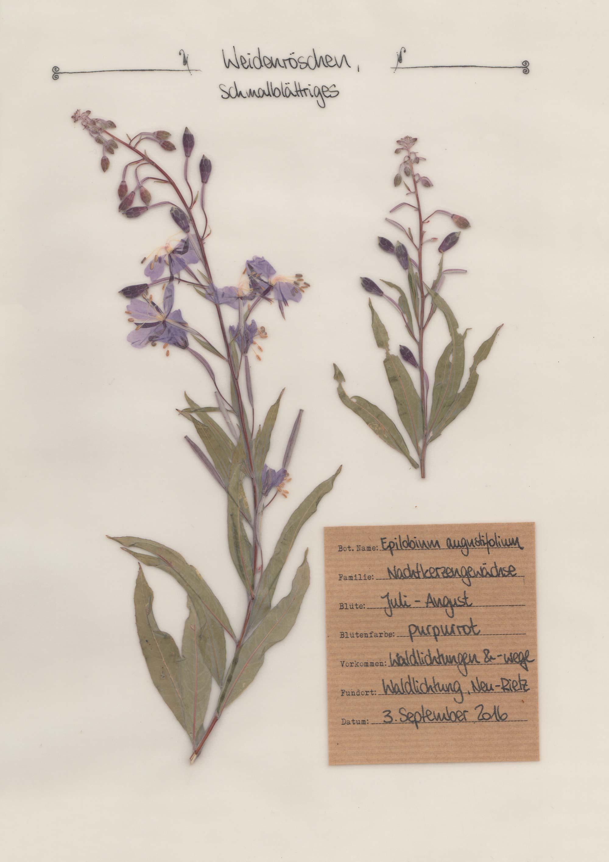 Schmalblättrige Weidenröschen – Herbal Hunter Herbarium
