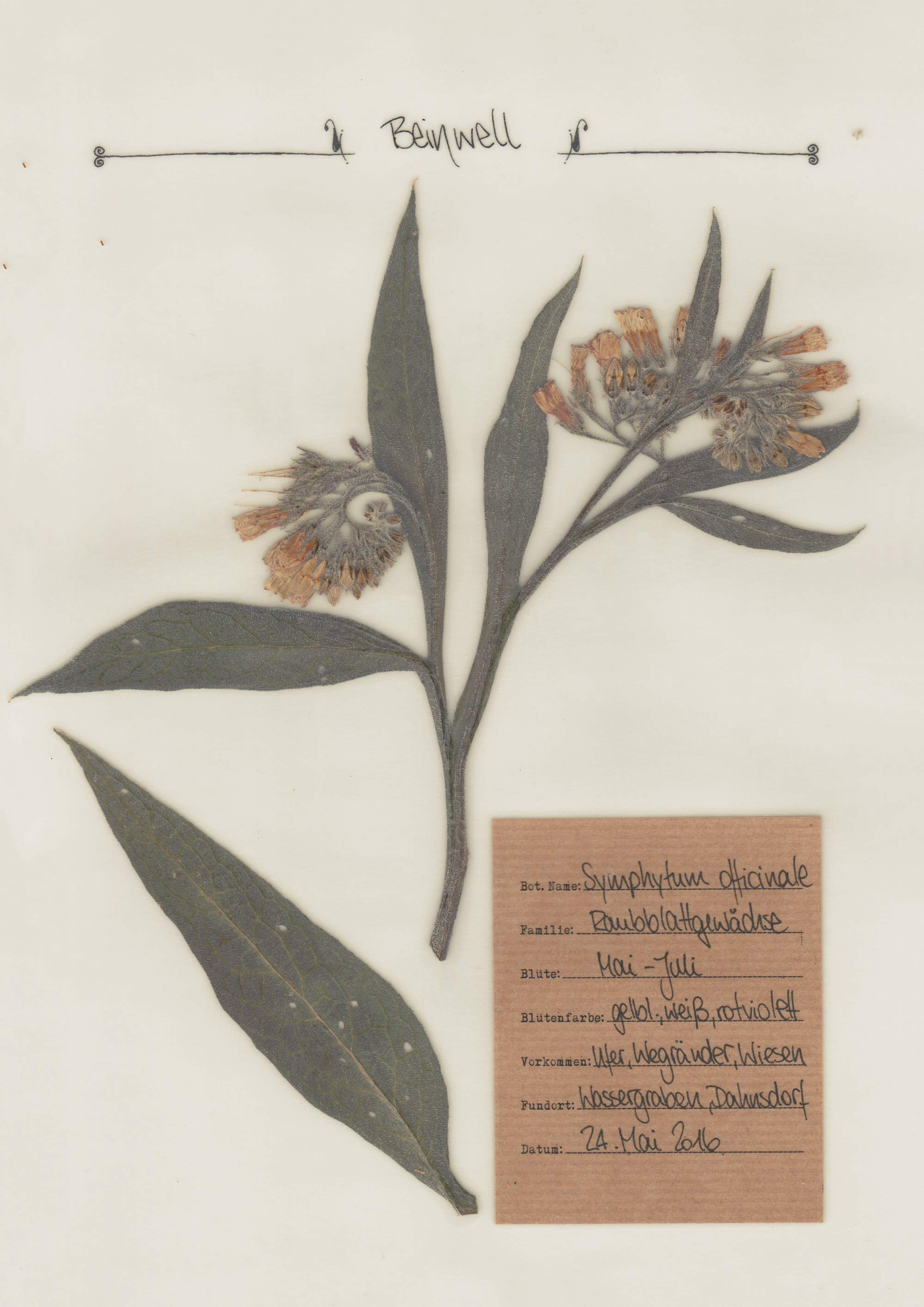 Echter Beinwell – Herbal Hunter Digitales Herbarium