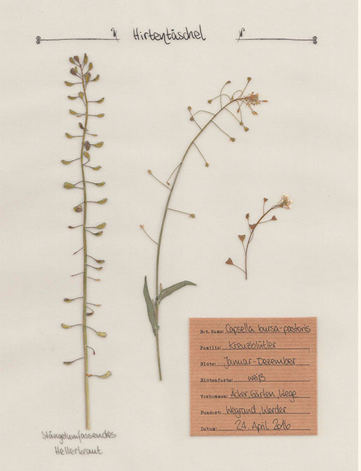 Hirtentäschel – Pflanzenportrait – Digitales Herbarium