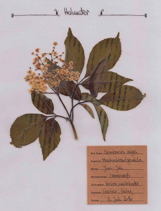 Holunder – Pflanzenportrait – Digitales Herbarium