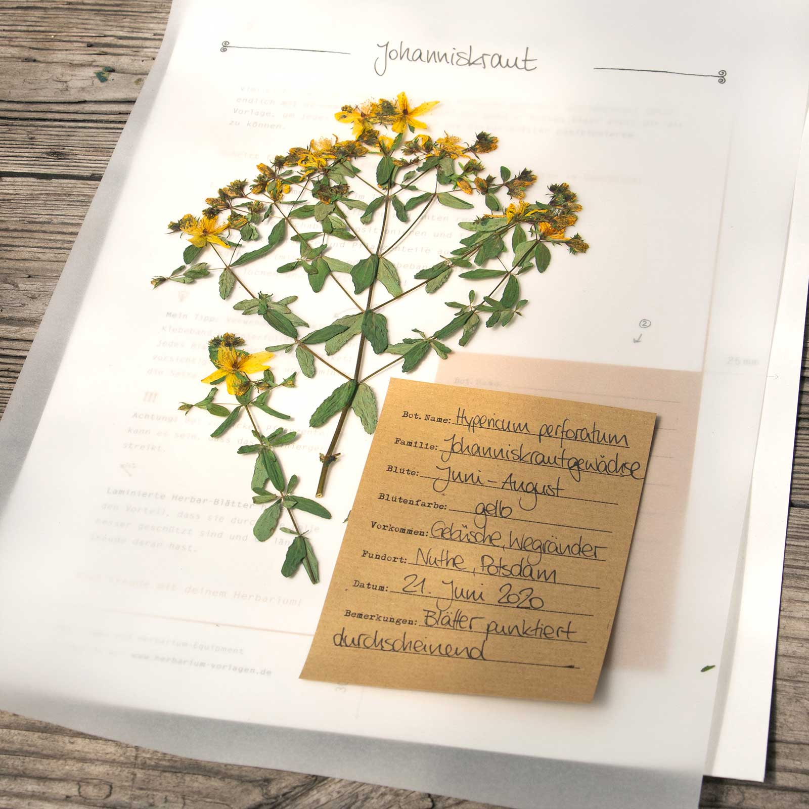 Herbarium Vorlagen Herbal Hunter Kräuterblog