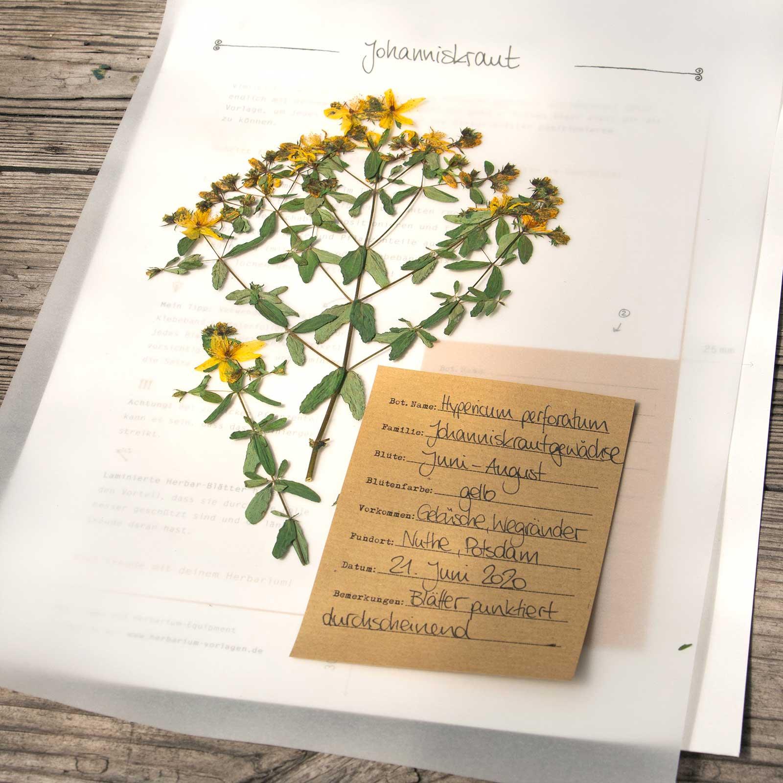 Herbarium Vorlagen Herbal Hunter Kräuterblog