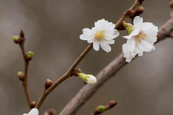Barbara Zweige – Kirsch Blüten – Herbal Hunter – Kräuterblog