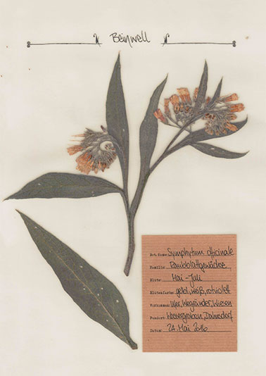 Beinwell – Pflanzenportrait – Digitales Herbarium