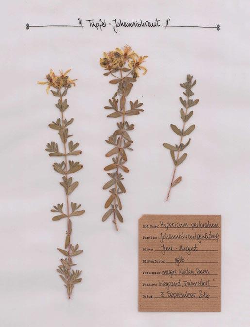 Johanniskraut – Pflanzenportrait – Digitales Herbarium