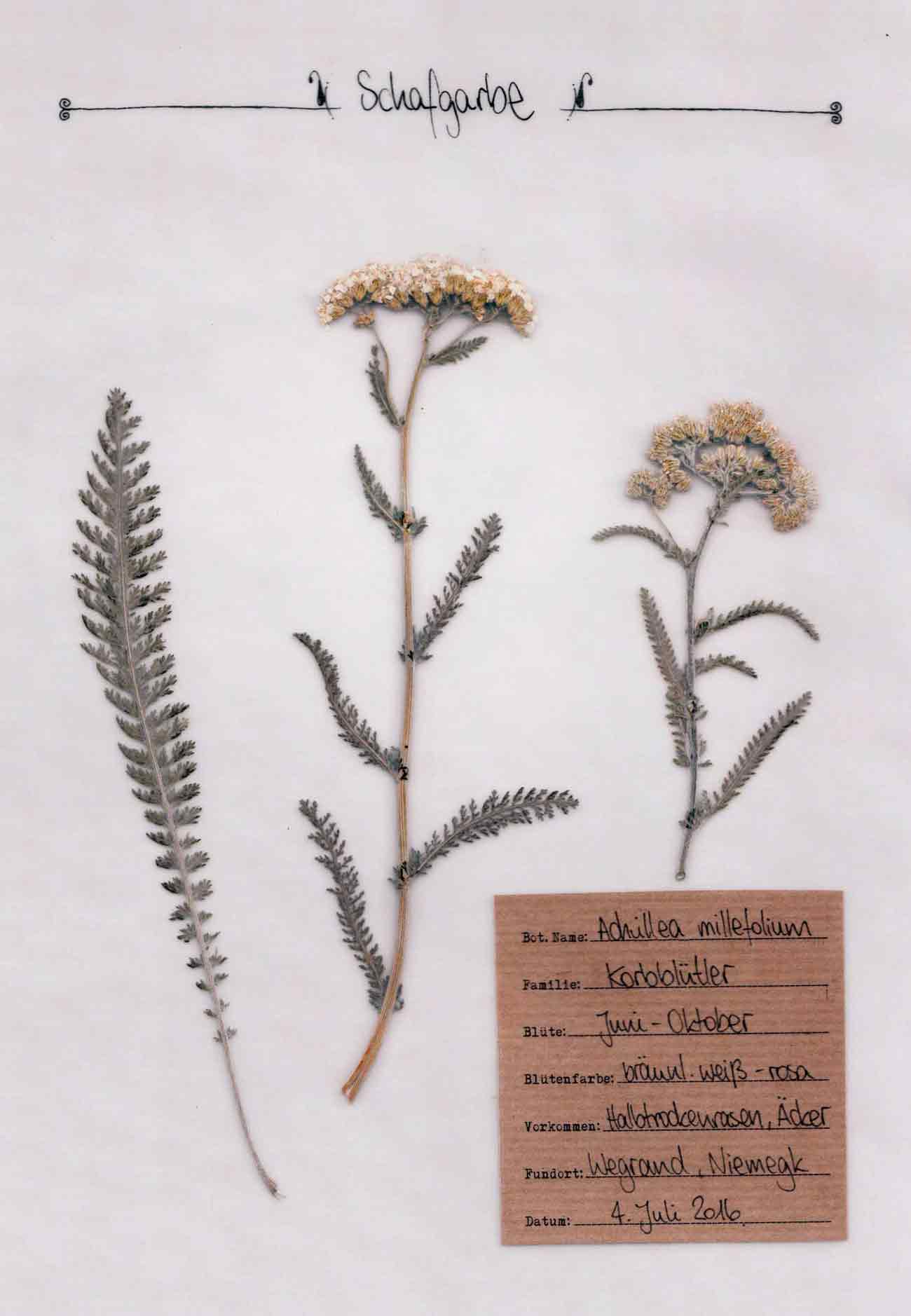Schafgarbe Pflanzenportrait im digitalen Herbarium – Herbal Hunter