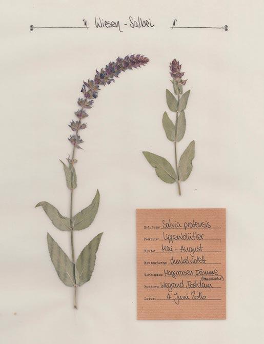 Wiesen-Salbei – Pflanzenportrait – Digitales Herbarium