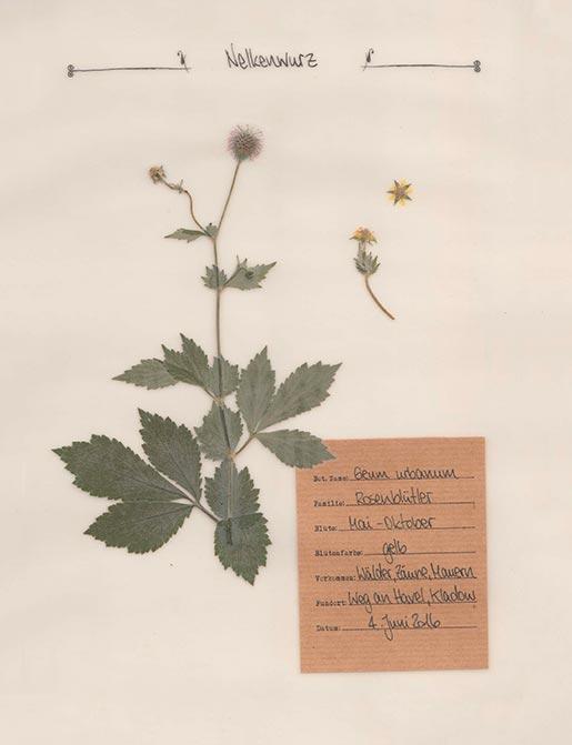 Nelkenwurz – Pflanzenportrait – Digitales Herbarium