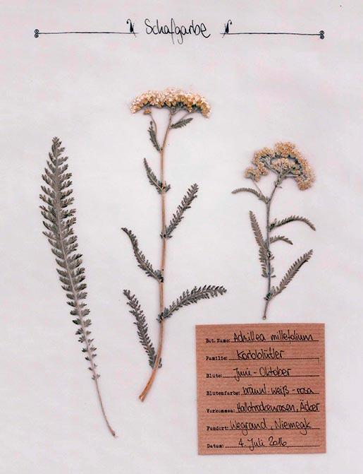 Schafgarbe – Pflanzenportrait – Digitales Herbarium