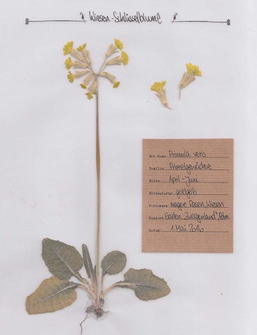 Schlüsselblume – Pflanzenportrait – Digitales Herbarium