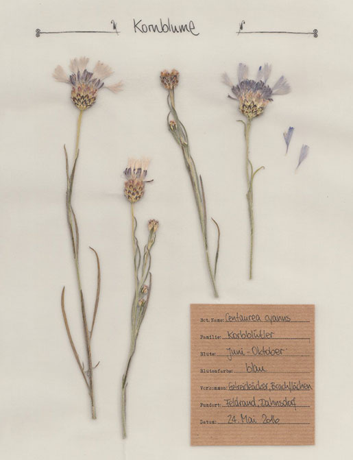 Kornblume – digitales Herbarium – Herbal Hunter