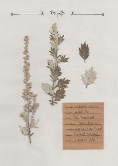 Beifuß – Pflanzenportrait – Digitales Herbarium