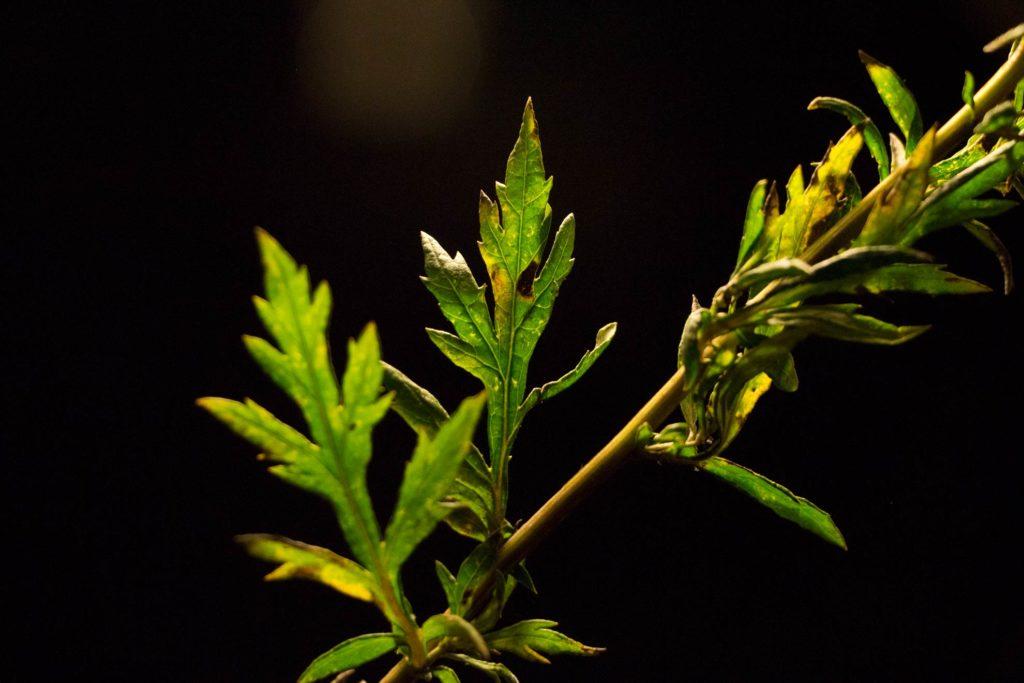Beifuß – Artemisia vulgaris, das Mutterkraut begleitet den Menschen seit der Steinzeit. Ein ausfürliches Pflanzenportrait im Herbal Hunter-Herbarium. Kräuterblog