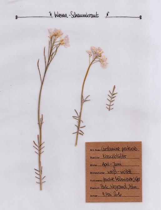 Wiesen-Schaumkraut – Pflanzenportrait – Digitales Herbarium