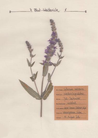 Blut-Weiderich – Pflanzenportrait – Digitales Herbarium