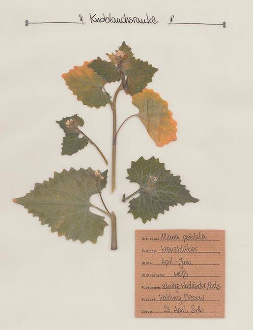Knoblauchsrauke – Pflanzenportrait – Digitales Herbarium