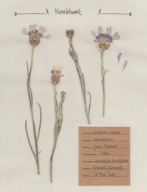 Kornblume – Pflanzenportrait – Digitales Herbarium
