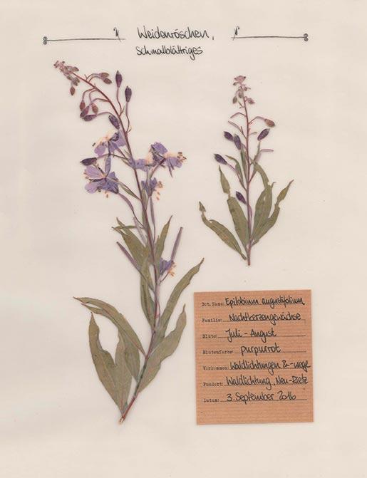 Weidenröschen – Pflanzenportrait – Digitales Herbarium
