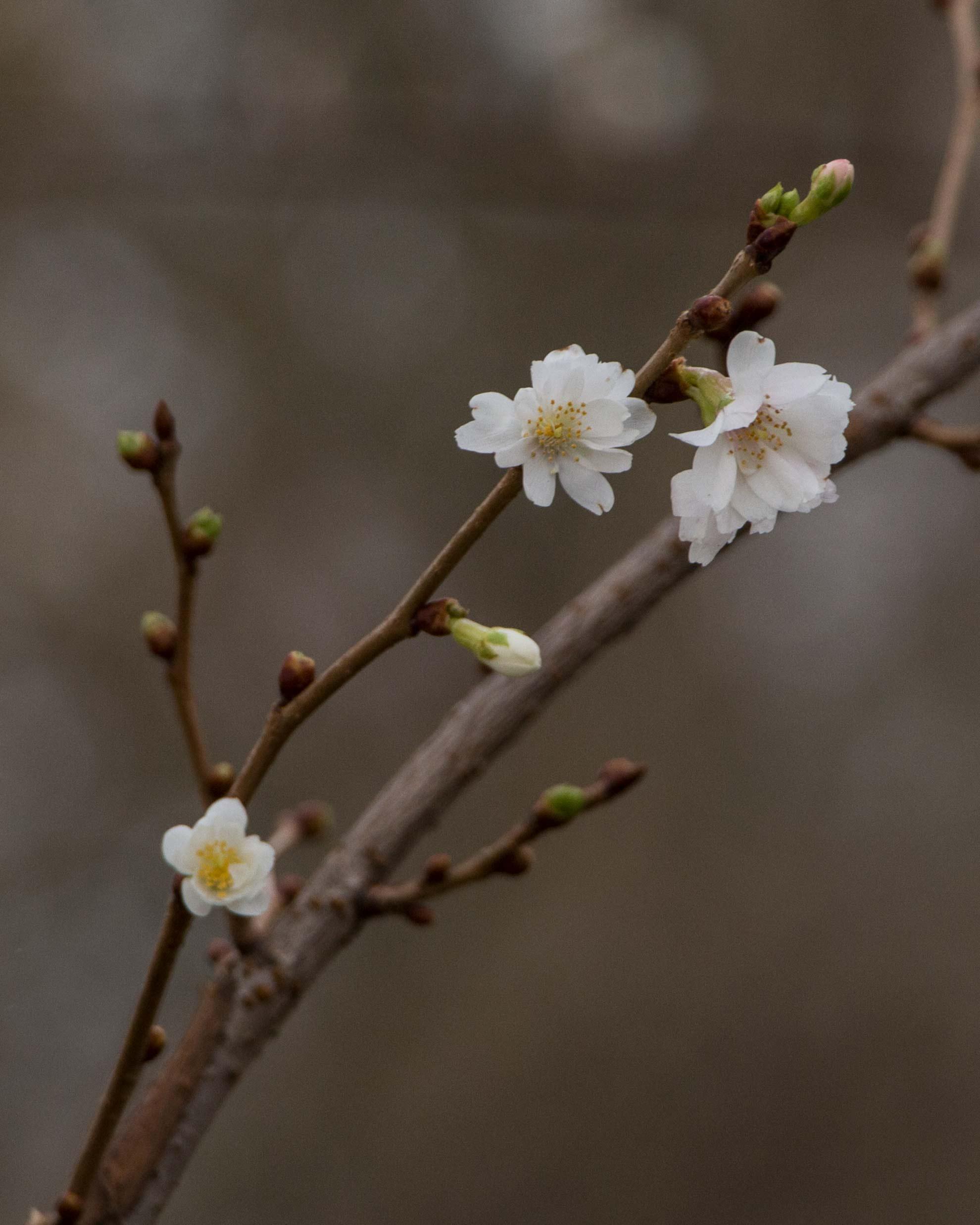 Herbal Hunter Kräuterblog Barbara Zweige Kirsch Blüten