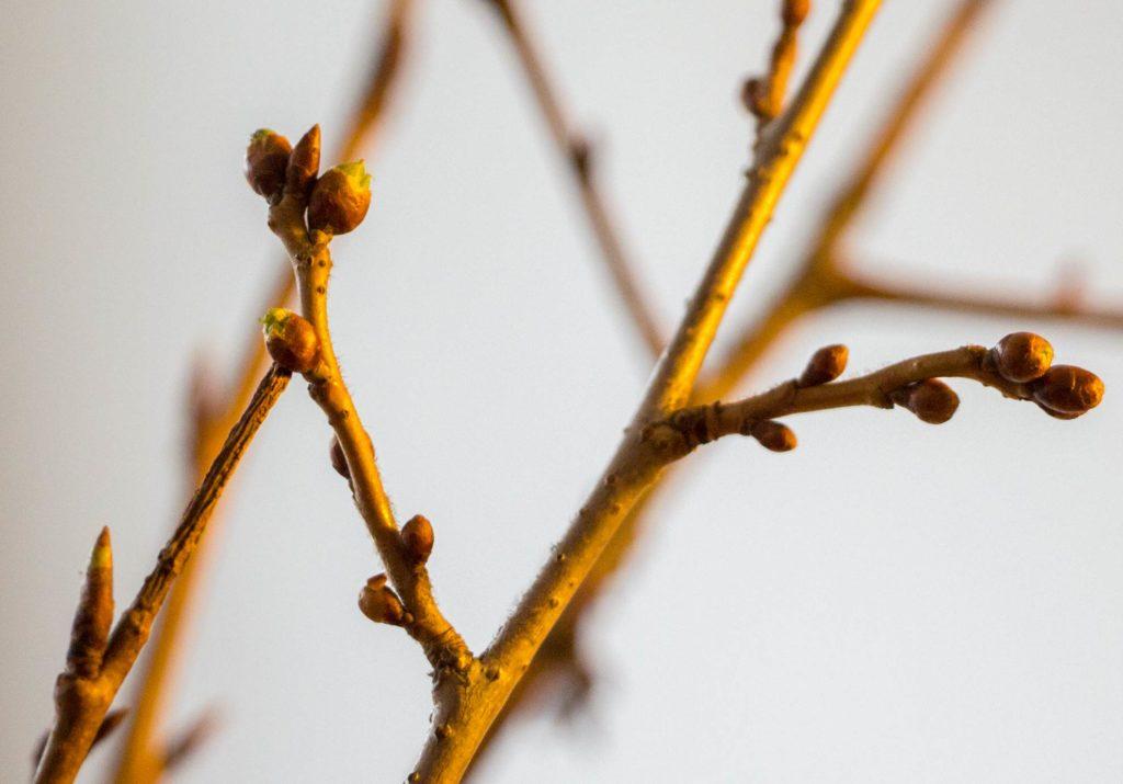 In Wasser gestellte Zweige zur Adventszeit, die Barbarazweige bringen Glück und Licht zur Weihnachtszeit.