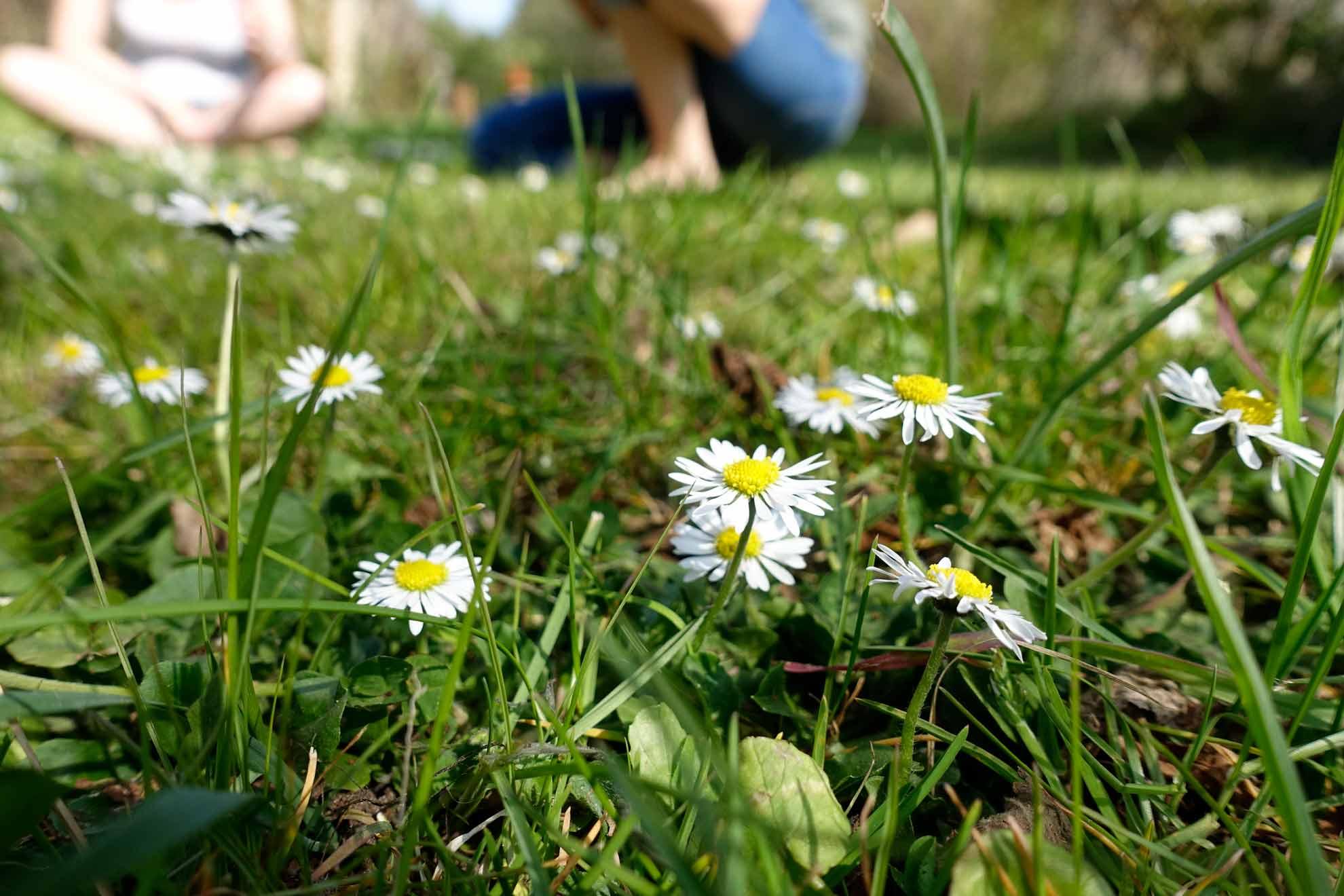 Herbal Hunter Kräuterblog Gänseblümchen