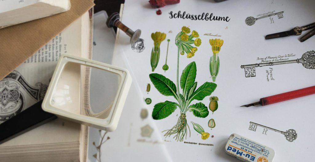 Die Schlüsselblume. Herbal Hunter. Naturkundemuseum Potsdam.