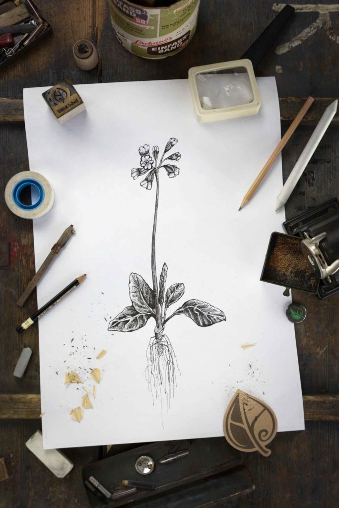 Schluesselblume_Herbal-Hunter_Digitales-Herbarium
