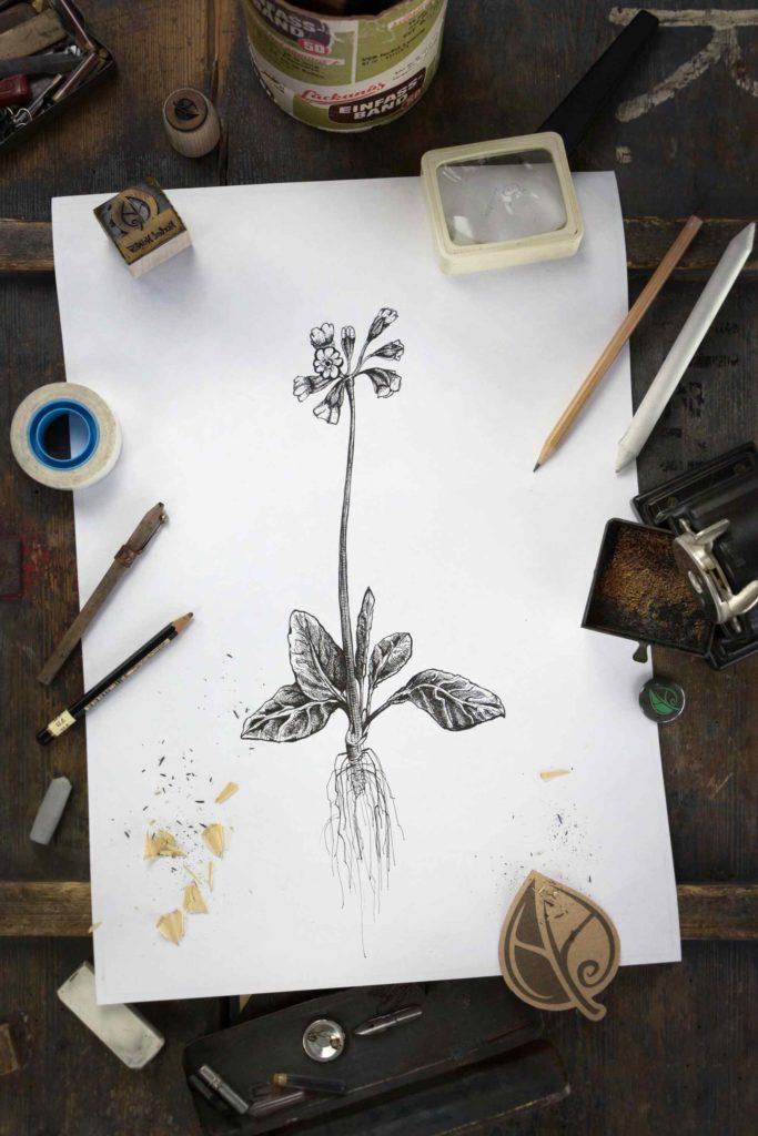 Schluesselblume_Herbal-Hunter_Digitales-Herbarium