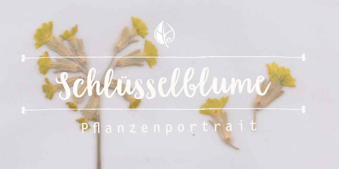 Kräuterblog Herbal Hunter – Herbarium – Schlüsselblume