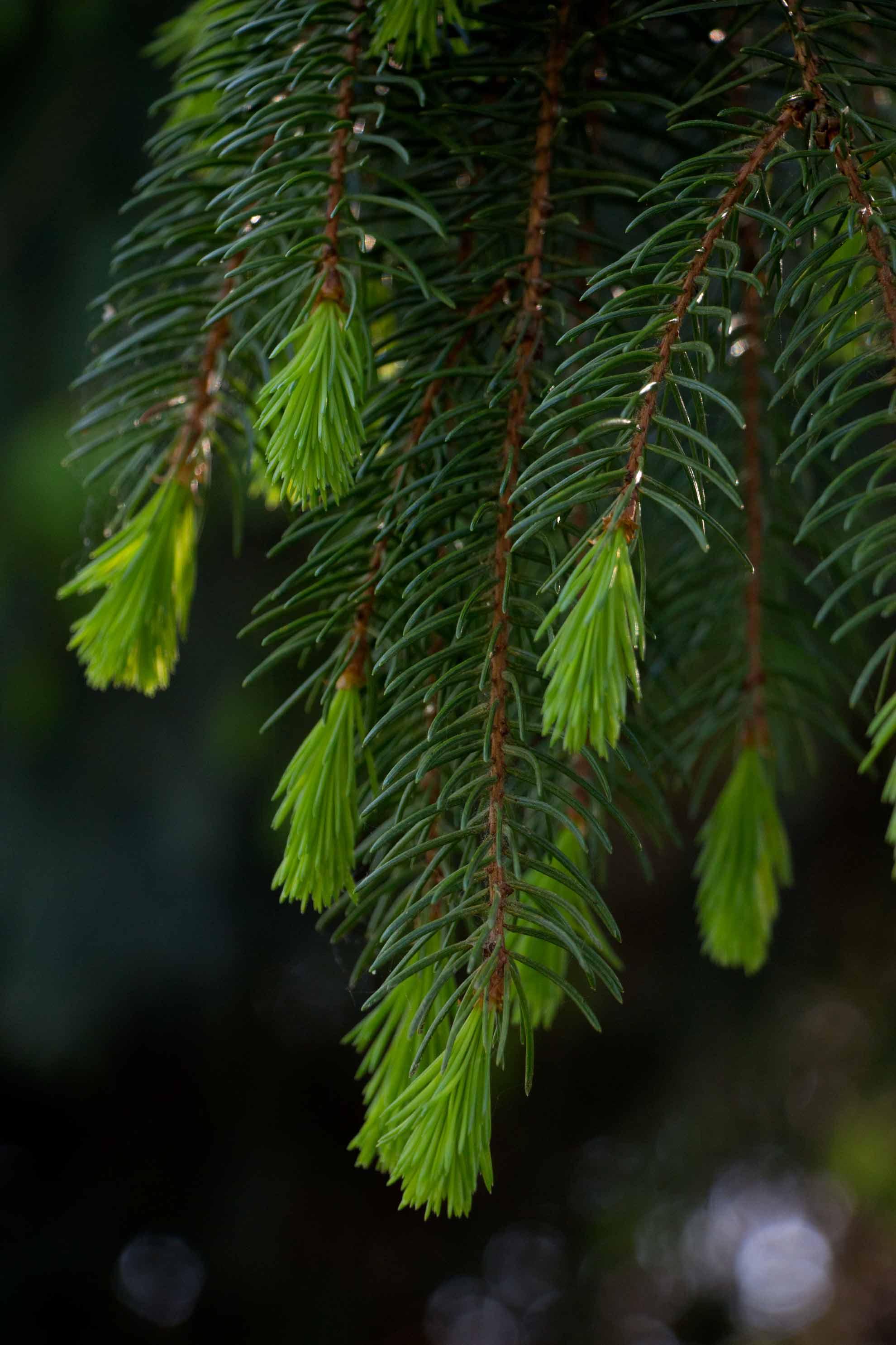 Herbal Hunter. Waldkonfekt aus Fichtenspitzen. saisonale Wildkräuterküche