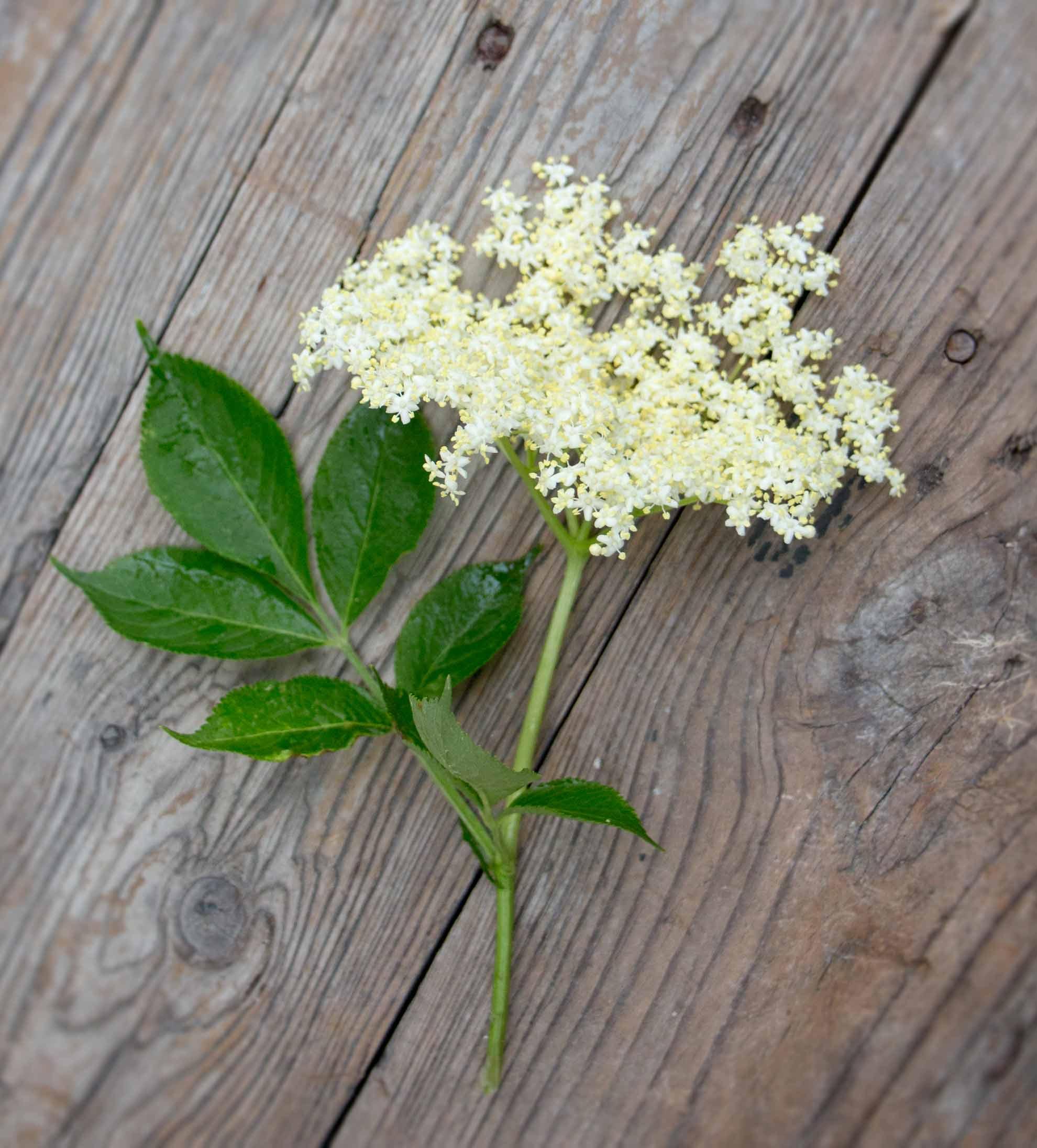 Holunder. Herbal Hunter. digitales Herbarium. Kräuterblog