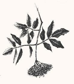 Der Holunder - ein Pflanzenportrait im digitalen Herbarium. Herbal Hunter.