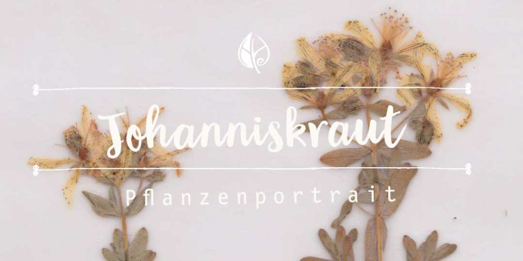 Johanniskraut – Herbal Hunter Digitales Herbarium