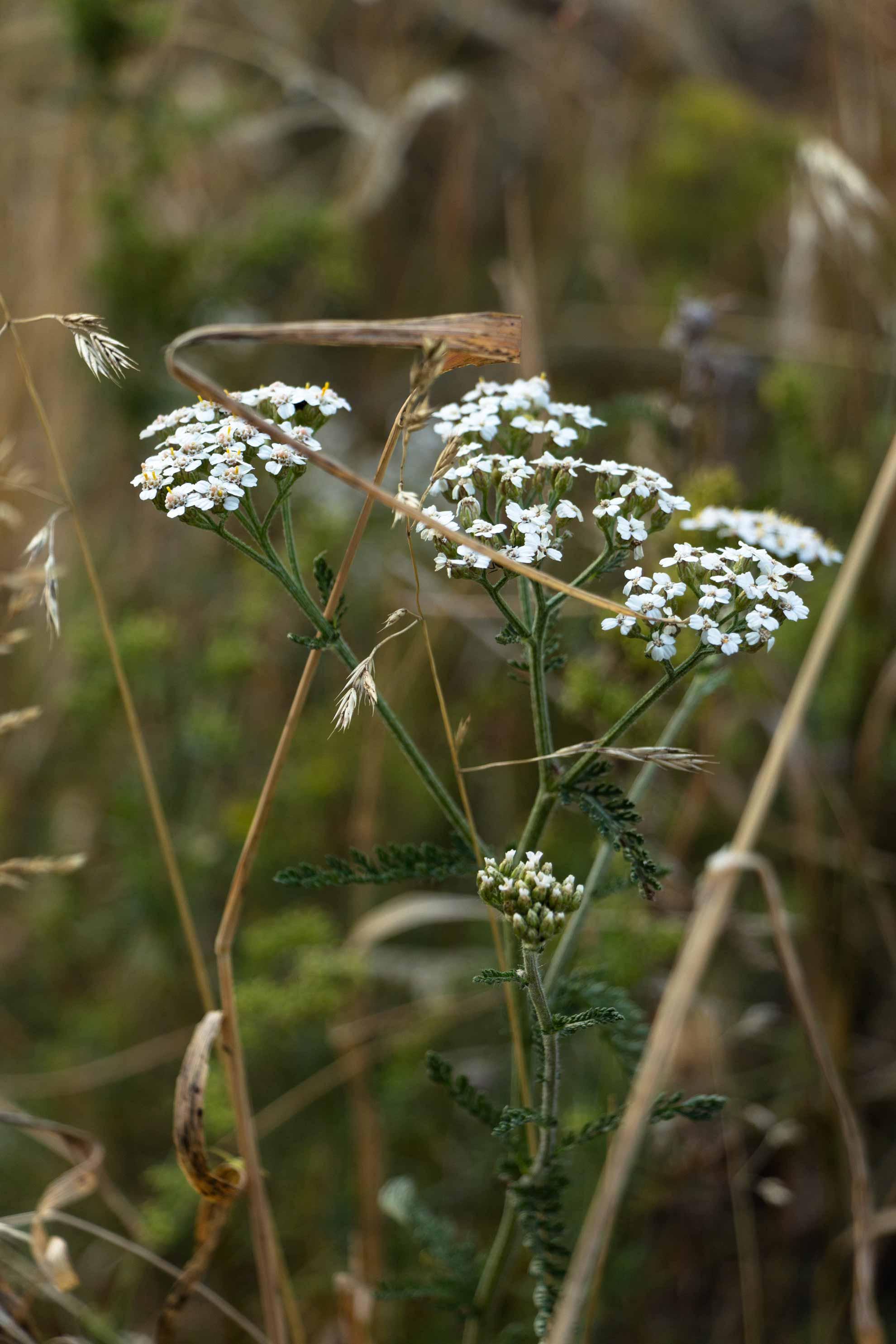 Schafgarbe. Herbal Hunter. digitales Herbarium. Pflanzenportrait