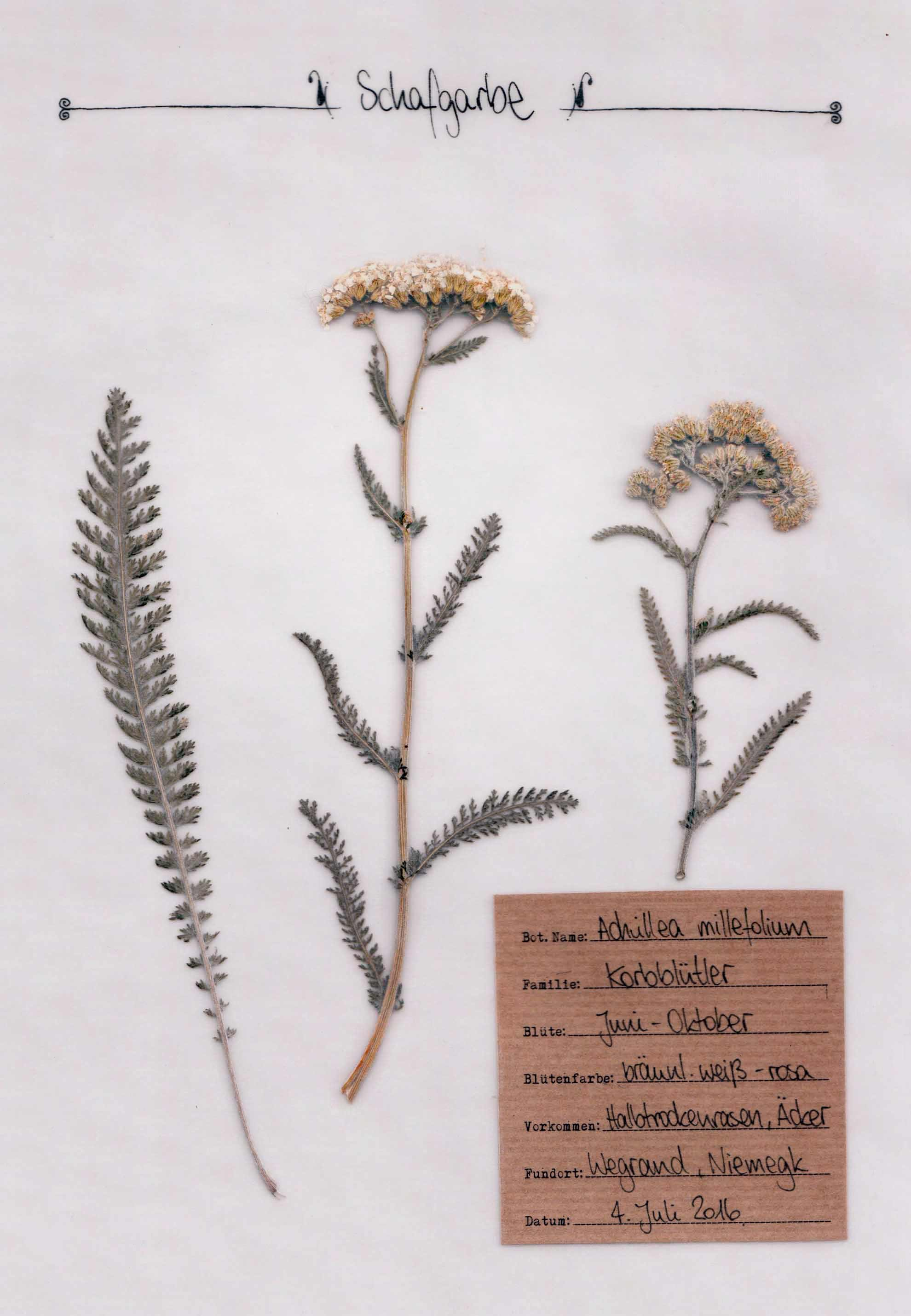 Schafgarbe – Herbal Hunter. digitales Herbarium