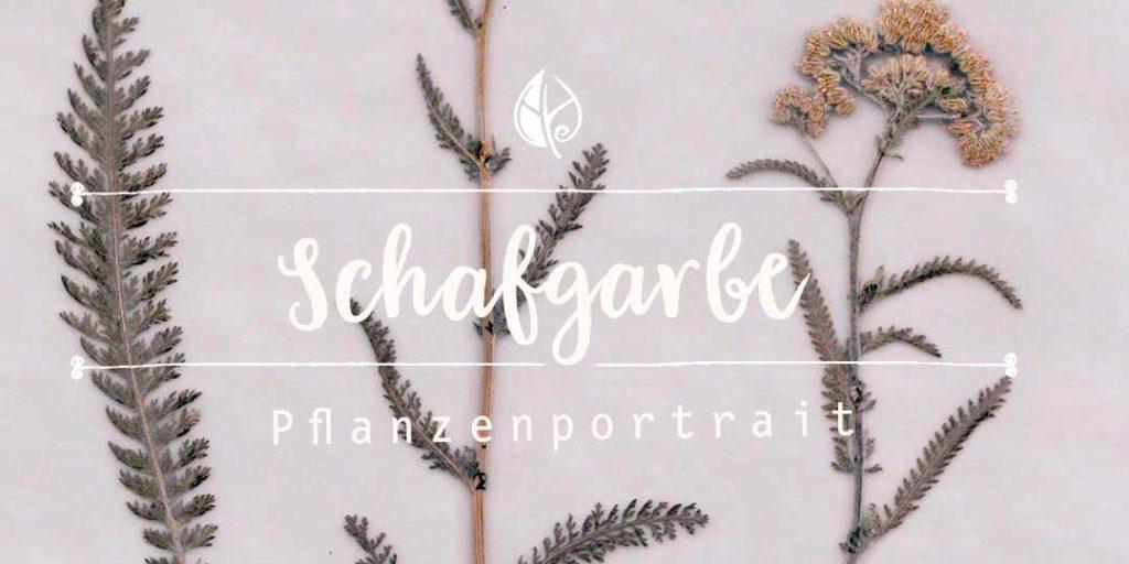 Kräuterblog – Schafgarbe – ein ausführliches Pflanzenportrait vom Herbal Hunter aus dem digitalen Herbarium–