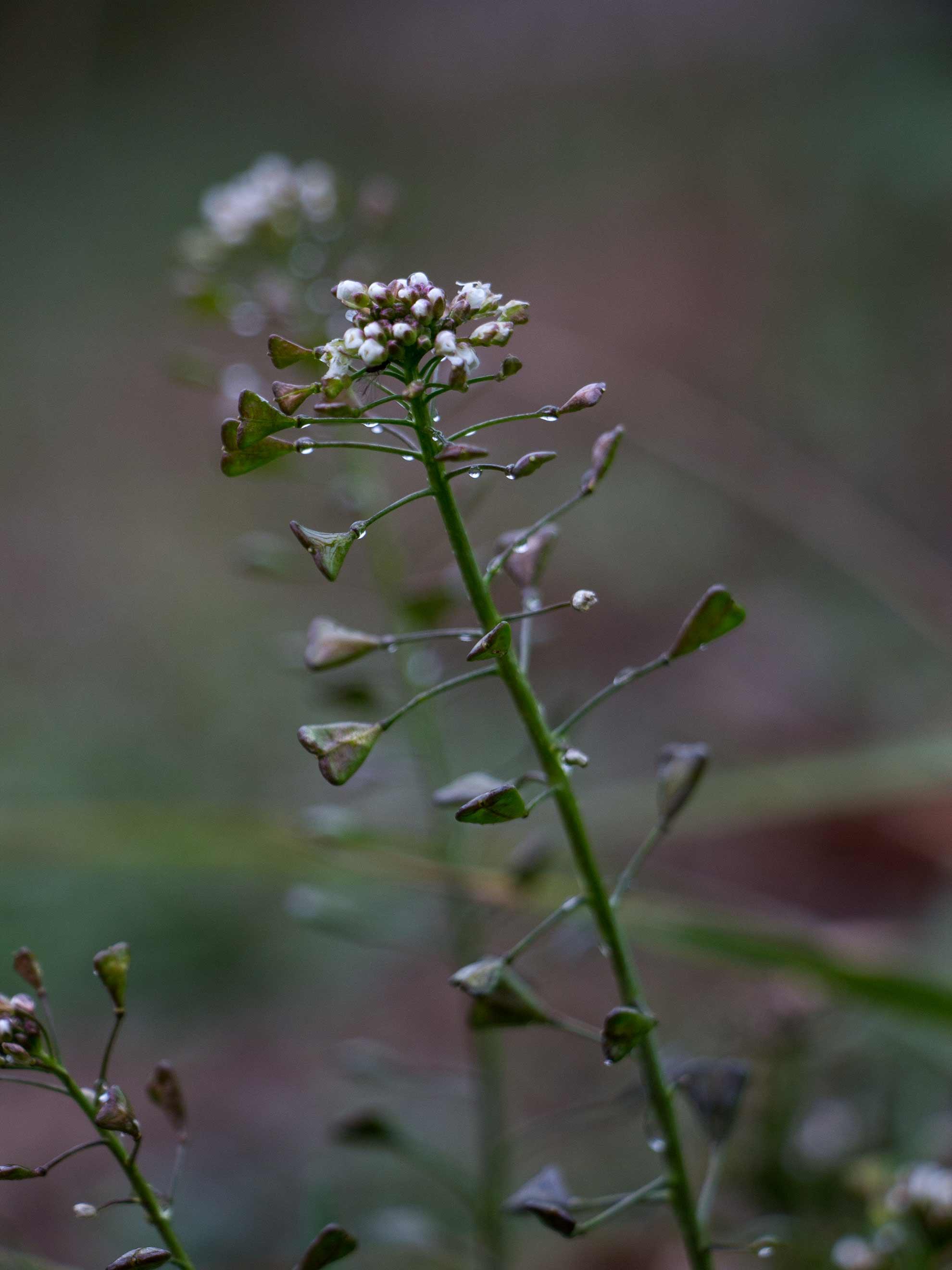 Herbal Hunter digitales Herbarium Hirtentäschel