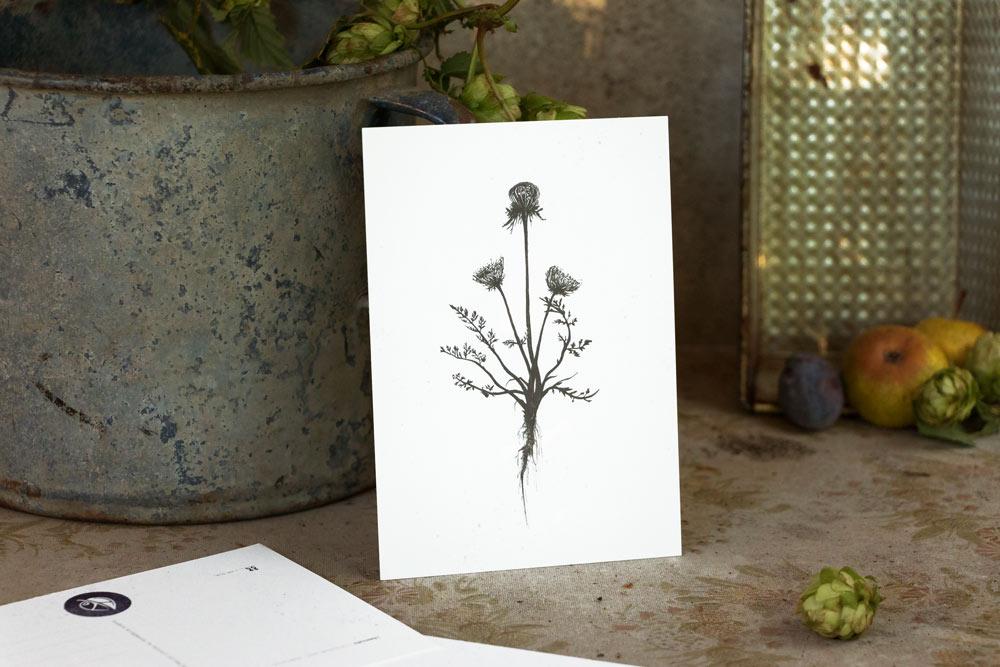 Wilde Möhre – selbst gezeichnete Kräuterpostkarten – Herbal Hunter