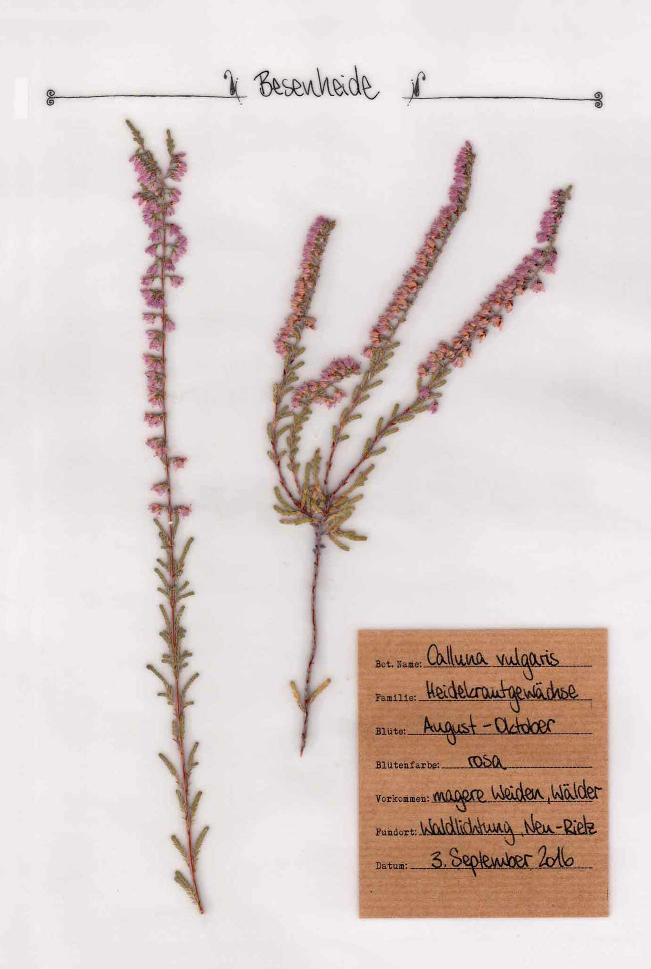 Besenheide im Digitalen Herbarium – Pflanzenportrait im digitalen Herbarium – Herbal Hunter