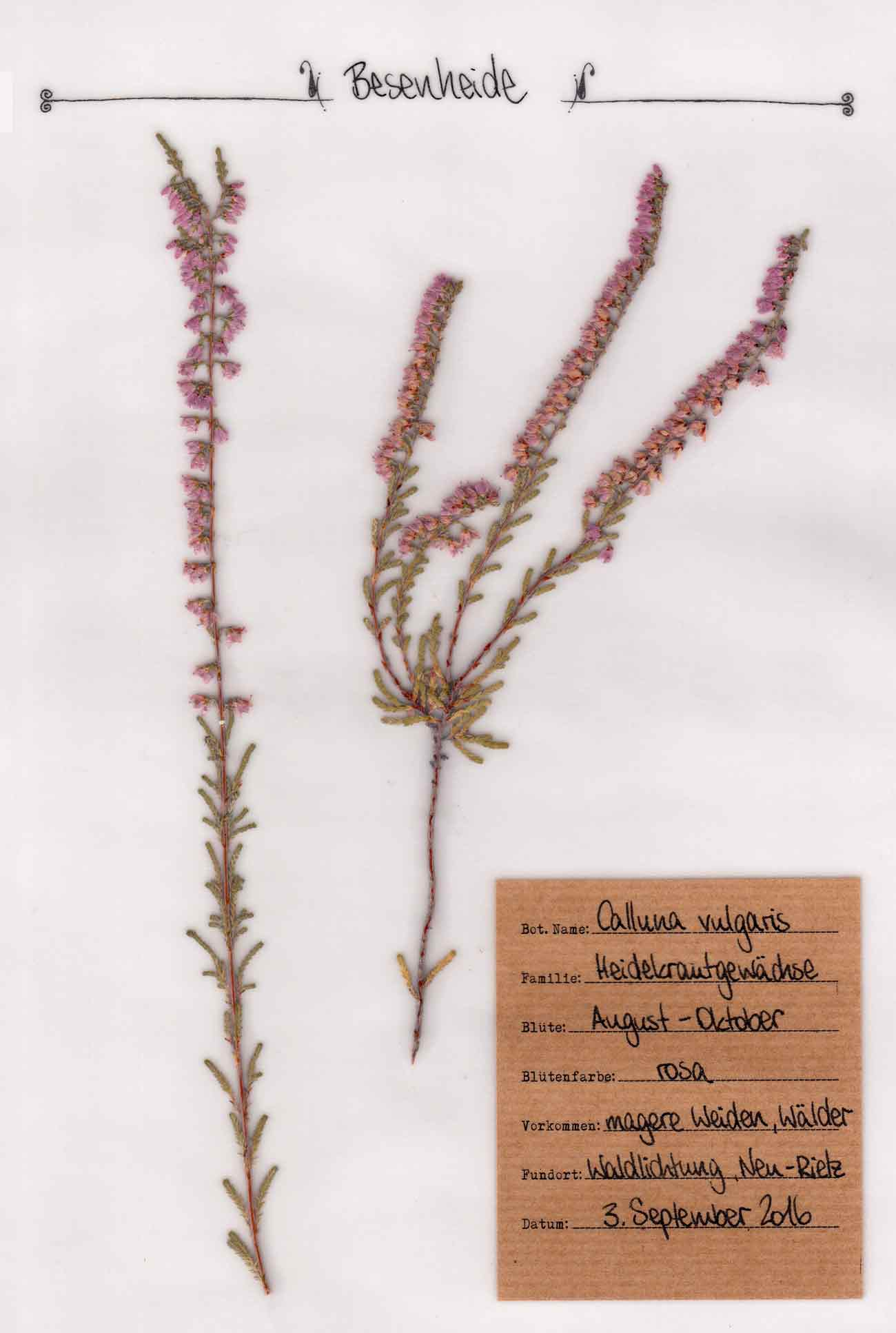 Besenheide Pflanzenportrait im digitalen Herbarium – Herbal Hunter